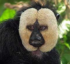 saki faced monkey