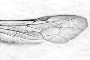 Wing by AJC1